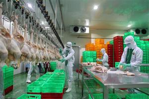 [Hungary] Cần công nhân thịt gà đi Hungary